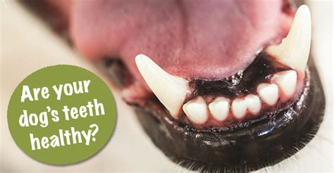 healthy dog teeth picture 9