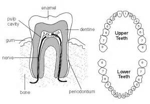diagram of teeth picture 10