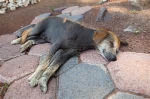 black skin disease in dogs picture 2