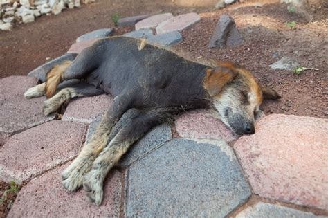 canine skin disorders-black spots picture 9