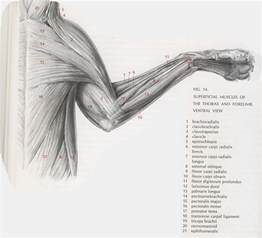cat muscle anatomy picture 2