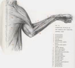 cat muscle anatomy picture 1
