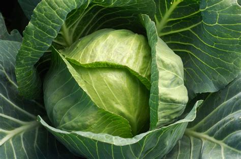 cabbage 20soup 20 diet picture 3