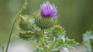 milk thistle liver picture 9