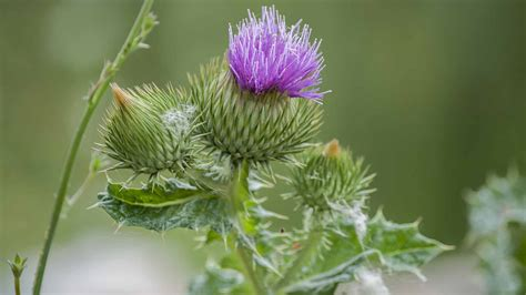 milk thistle for liver damage picture 3