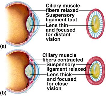 ciliary eye muscle picture 3