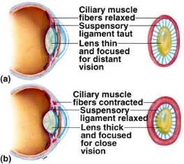 ciliary muscle and trigeminal eye pain picture 17