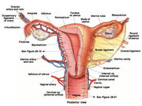 effects of aging on reproductive system picture 2