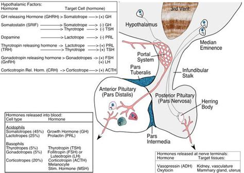 anterior pituitary picture 10