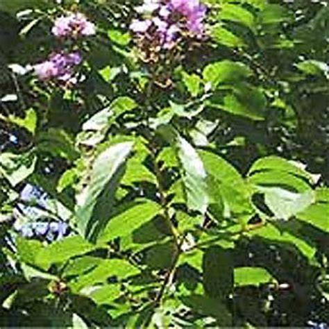 herbal na gamot sa bato sa bato picture 5