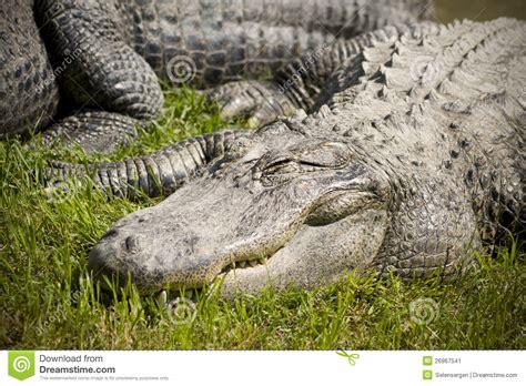 alligators sleep picture 10