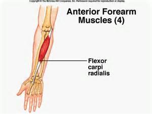 flexor carpi radialis muscle picture 1
