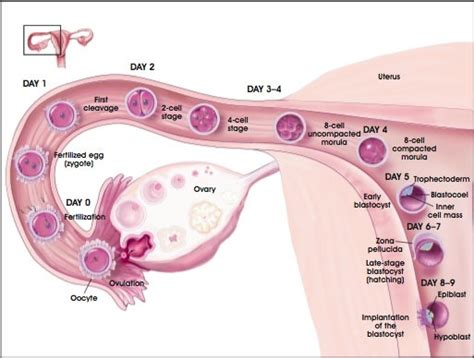 herbal cleanse changed painful ovulation picture 7