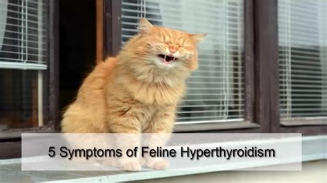 feline hyperthyroidism picture 15