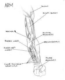 muscle tendon diagram picture 15