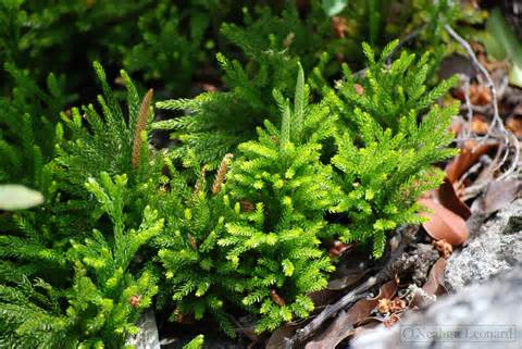 club moss picture 1