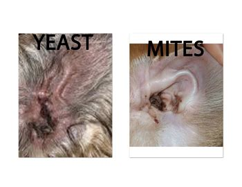 yeast infections in cats picture 11