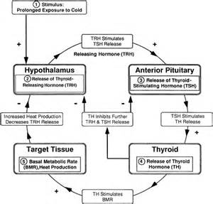 diagram of pathophysiology of thyroid storm picture 6