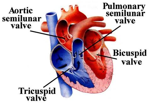 Heart blood flow picture 11