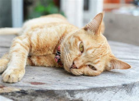 cat liver disease picture 6