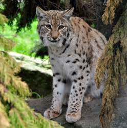 serval diet picture 6