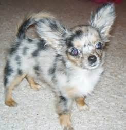 chihuahua h picture 7