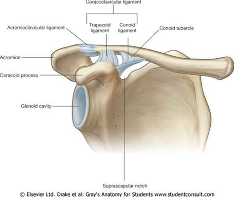 acromio-clavicular joint picture 15