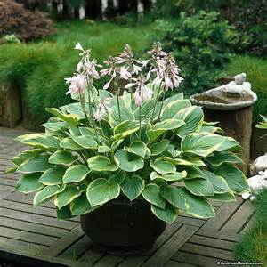 hosta plantain picture 3
