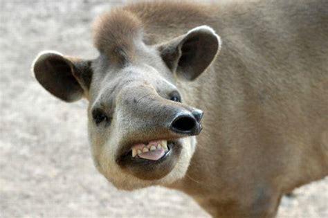 tapir sex picture 3