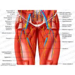 hip joint nerves picture 3