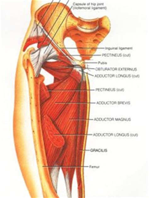 groin muscle pull picture 3