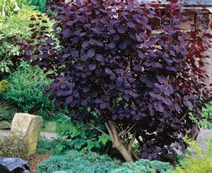 smoke bush maintenance picture 2