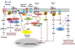 herbs for dopamine d2 receptor picture 1