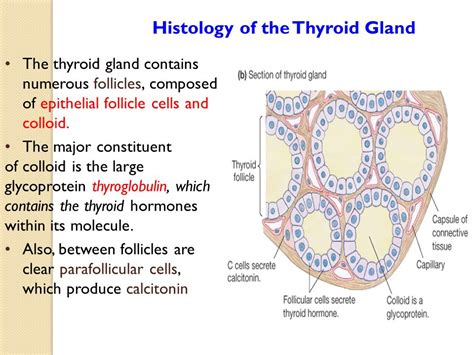 what is the shape of the thyroid gland picture 10