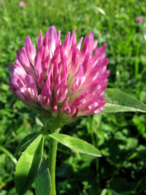 search : wikipedia for red clover picture 6