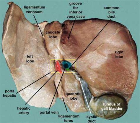 anatomy rat liver picture 19