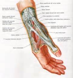 forearm muscle anatomy picture 9