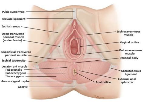 anatomy & physiology penis picture 3