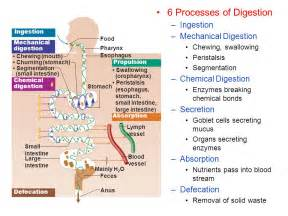 process of digestion picture 5