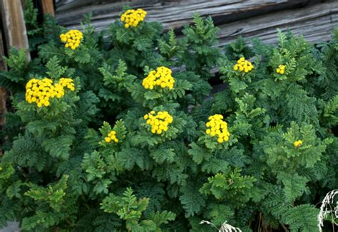 tansy herb in philippines picture 5