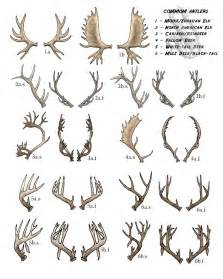 will deer antler increase size of s picture 2