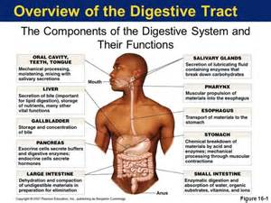 digestion system picture 1