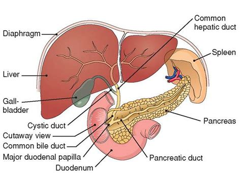 6 digestive accessory organs picture 3
