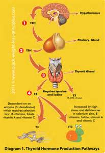 thyroid hormones for weight control picture 1