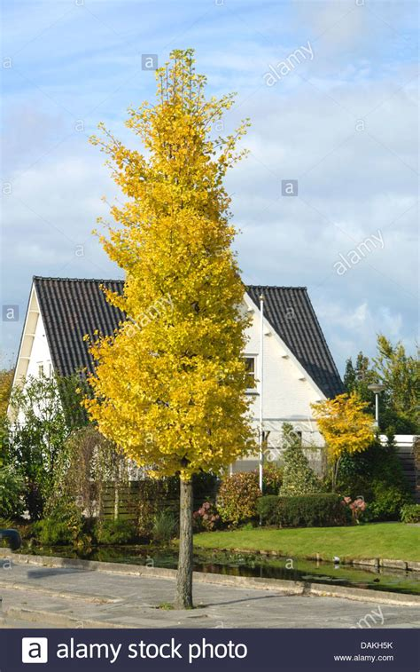 where are ginkgo biloba trees originally from picture 2