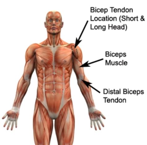 deltoid muscle injections picture 11