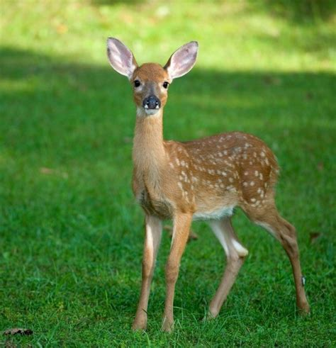 if female deer mate with male deer that picture 2