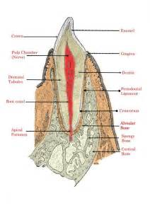 anatomy of the teeth picture 14