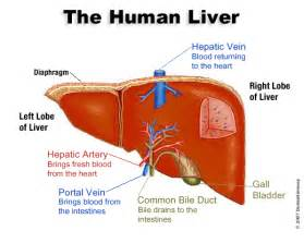 how many lobes are in the human liver picture 2