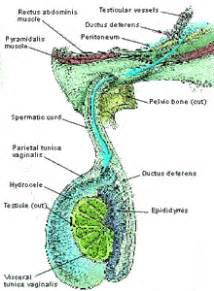 chronic infection bladder prostate epidytimis picture 5